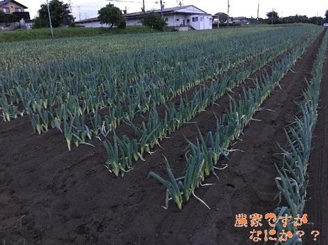 20160627下仁田ネギ.jpg