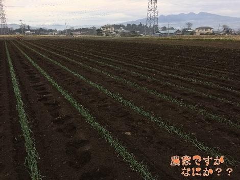 20161229トンネルねぎ定植.jpg