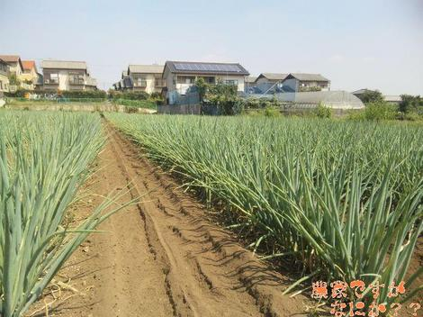 20110916 第12 長ねぎ中耕.JPG